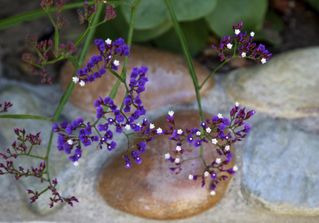 """<img alt+""""Statice or Sea Lavender (Limonium)""""/>"""