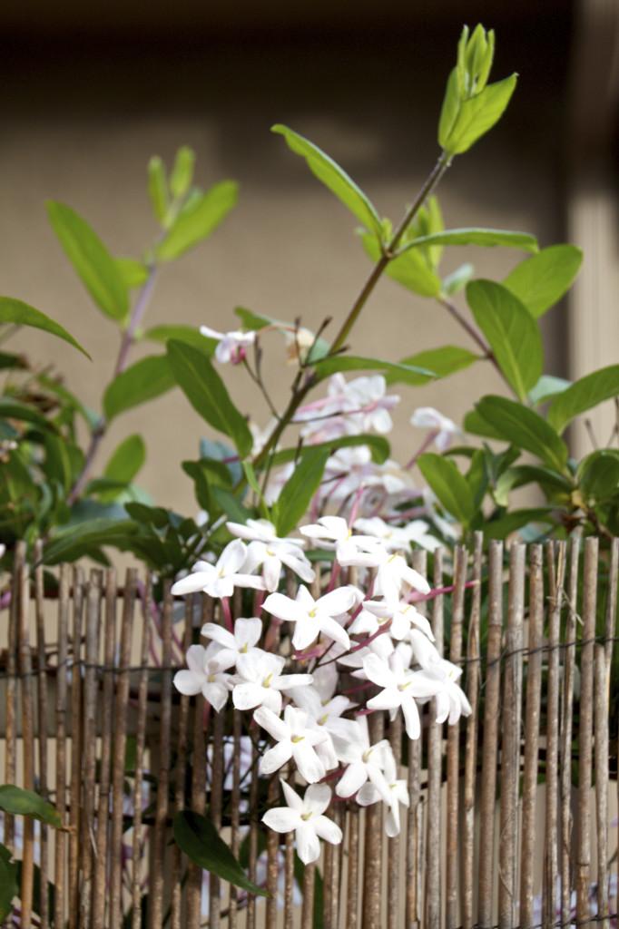 "<img alt=""Jasmine in Bloom""/>"