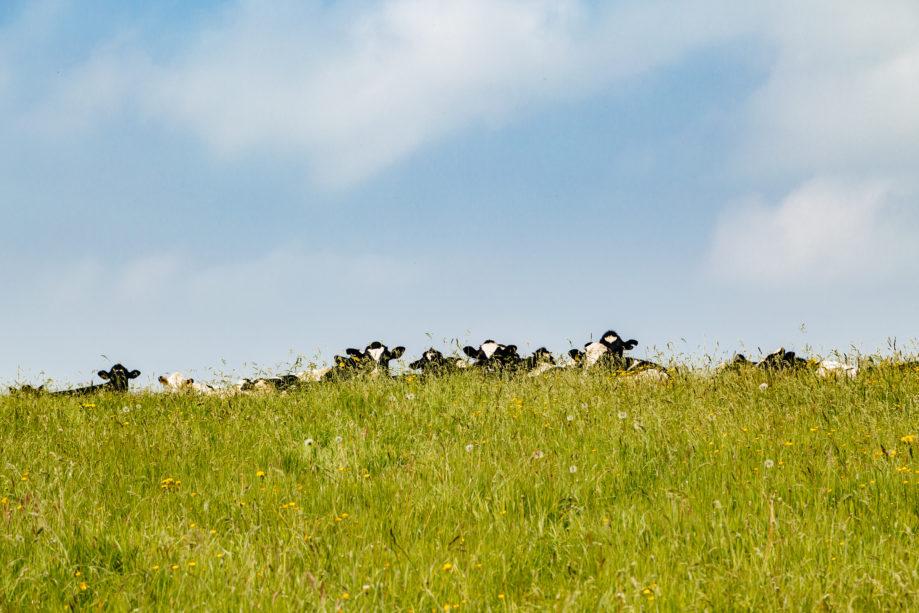 "<alt img=""Incognito Cows ""/>"