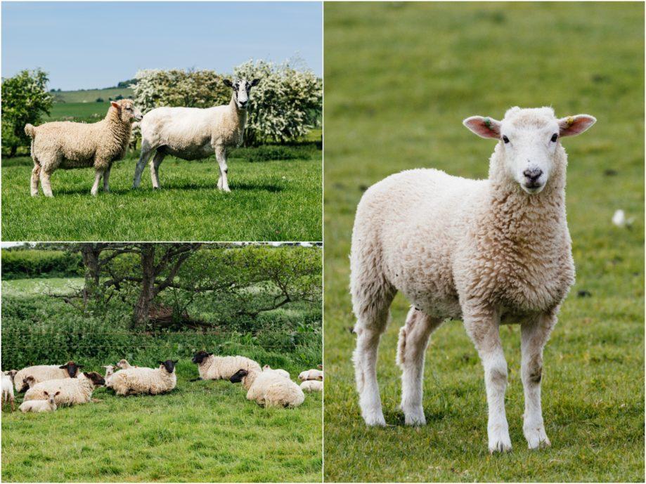 "<alt img=""Sheep ""/>"